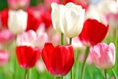 Beautiful spring tulips Stock Image