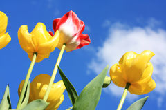 Beautiful Spring tulips against blue sky Royalty Free Stock Photo