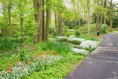 Beautiful spring tulips flowers in park in Netherlands Holland Royalty Free Stock Photography