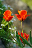 Beautiful spring tulips  in the garden Stock Photography