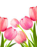 Beautiful Spring Tulips  for holiday background, Stock Images