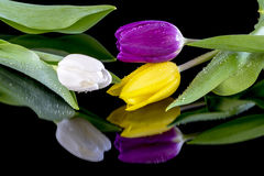 Beautiful spring tulips purple yellow and white Royalty Free Stock Photos
