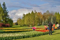 Beautiful spring tulips - walk among the tulips in stormy day Royalty Free Stock Image