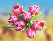 Beautiful spring tulips with water drops. Red and pink tulips on a blur natural background Royalty Free Stock Images