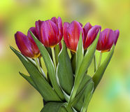 Beautiful spring tulips with water drops. Red and pink tulips on a blur natural background Stock Photography