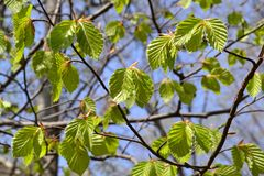Beautiful spring view to newly born green fresh leaves of a tree. Beautiful spring view to newly born green fresh leaves of a tree with blue sky in background royalty free stock images