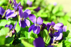 Beautiful spring violet flower Royalty Free Stock Photography