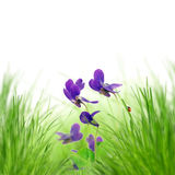 Beautiful spring violet flowers Stock Images