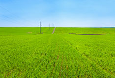 Beautiful spring wheat field Stock Photos