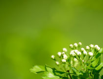 Beautiful Spring White Flowers Against the Green Background Royalty Free Stock Photo