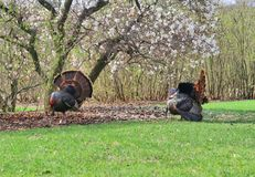 Beautiful spring and wildlife nature background. Spring landscape with pair of beautiful wild turkey birds on blooming magnolia tree background in the city park Stock Images