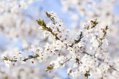 beautiful spring woman 树开花的白花在蓝天b的 库存图片