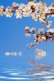 beautiful spring woman 树开花的花在蓝天的 库存图片