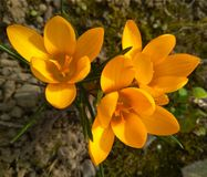 Beautiful spring yellow crocuses in the garden royalty free stock photography