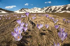 Crocuses family under the bright sun in spring time. Royalty Free Stock Images