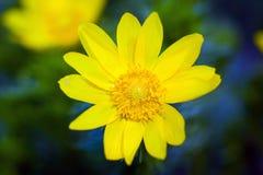 Beautiful spring yellow flowers  Pheasant's eye Royalty Free Stock Photography