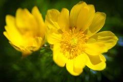 Beautiful spring yellow flowers  Pheasant's eye Royalty Free Stock Image