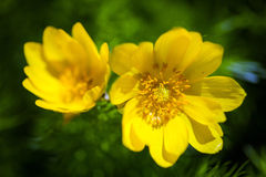 Beautiful spring yellow flowers  Pheasant's eye Stock Photo