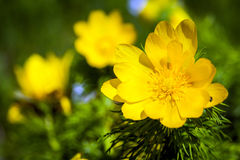 Beautiful spring yellow flowers  Pheasant's eye Stock Photography