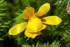 Beautiful spring yellow flowers  Pheasant's eye Royalty Free Stock Photo