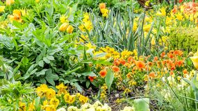 Beautiful spring yellow and orange flowers, Monet`s garden, Giverny, France. stock photos