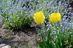 Beautiful spring yellow tulips in the garden Royalty Free Stock Photo