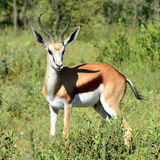 Beautiful springbok antelope. Springbok antelope in national park Chobe in Botswana Royalty Free Stock Photography