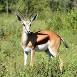 Beautiful springbok antelope Royalty Free Stock Photography