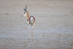 Beautiful springbok captured from behind in the middle of the desert