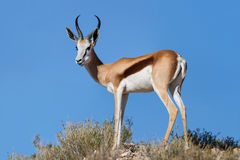 Beautiful springbok ram standing on ridge Stock Photo