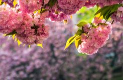 Sakura flower blossom in springtime. Beautiful springtime background. Sakura flowers blossom in garden royalty free stock images