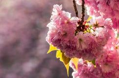 Sakura flower blossom in springtime. Beautiful springtime background. Sakura flowers blossom in garden Royalty Free Stock Photos