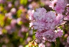 Sakura flower blossom in springtime. Beautiful springtime background. Sakura flowers blossom in garden Stock Photos