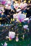Magnolia flower blossom in springtime. Beautiful springtime closeup background. Magnolia flower blossom in garden Stock Images