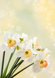 Daffodils. Beautiful springtime daffodils close-up Royalty Free Stock Photography