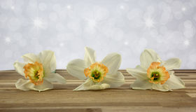 Daffodils. Beautiful springtime daffodils close-up with sparkle background Royalty Free Stock Image