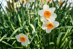 Beautiful Springtime Daffodils in Partial Sunlight. White petals and orange corona daffodils announce the early start of Spring Royalty Free Stock Photo