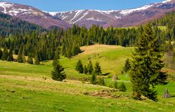 Beautiful springtime landscape of Carpathians. Coniferous forest on a grassy meadow at the foot of the mountain on a bright sunny day stock photos