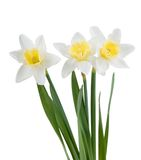 Beautiful Springtime Narcissus Royalty Free Stock Images