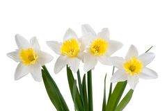 Beautiful springtime narcissus Stock Photo
