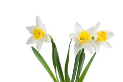 Beautiful springtime narcissus royalty free stock photography