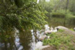 Beautiful spruce branch in the park, on a blurred background a l Stock Photos