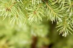 Beautiful spruce conifer branch with raindrops on it. Background stock photo