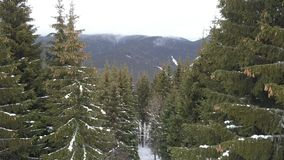 Beautiful spruce tree forest in the Carpathian mountains in winter. Top view stock video footage
