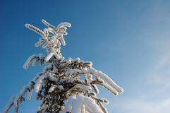 Beautiful spruce at winter Stock Images
