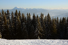 Beautiful spruces covered with snow on the background of sunlit mountains Carpathians Stock Images