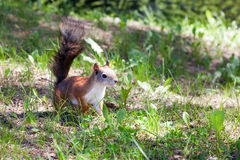 Beautiful squirrel against a green grass Stock Photo