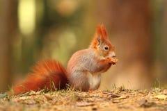 Beautiful squirrel Stock Images