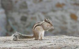 Beautiful Squirrel Stock Photos