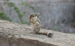 Beautiful Squirrel Royalty Free Stock Images